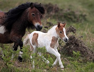 Dartmoor Ponies Enter Foaling Season