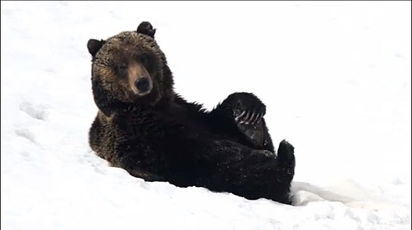 Grizzly Bear Plays In Snow In Yellowstone Watch