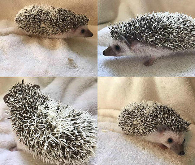 there are hedgehog babies for sale on craigslist in bozeman